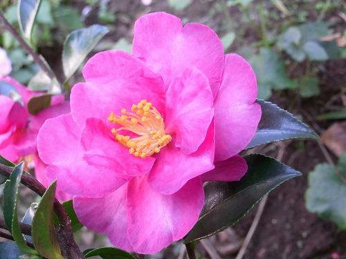 2009.11.21山茶花 005