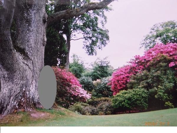 ボドナントガーデン 大木