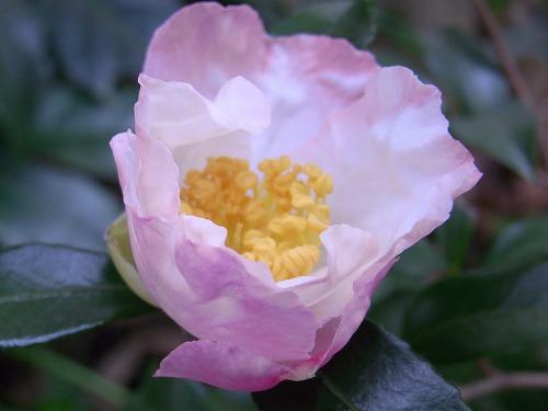 2009.11.21山茶花 002